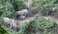 Ghi nhận voi con khoảng 1 tuổi trong đàn voi rừng ở Quảng Nam