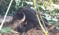 Bò tót chết do kẹt dưới vũng lầy trong khu bảo tồn Mã Đà