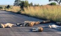 Sư tử ra đường nằm ngủ khi Nam Phi phong toả vì Covid-19