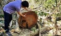 Được giao tận dụng gỗ dự án đường dây 500kV, phá luôn rừng