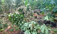 Đồng Nai: Mưa lớn khiến sầu riêng, bưởi rụng đầy vườn