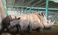 """Tê giác mới chào đời ở Vinpearl Safari mang tên """"Chiến thắng"""""""