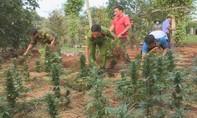 Hai chị em ruột rủ nhau trồng gần 600 cây cần sa để cho… gà ăn