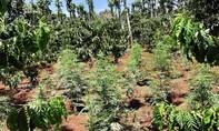 Đắk Lắk: Lại phát hiện hộ dân trồng hơn 1.000 cây cần sa cho... gà ăn