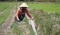 Quảng Ngãi: Nhiều diện tích đất nông nghiệp bỏ hoang do hạn hán