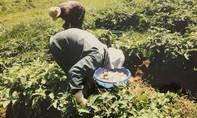 Lâm Đồng: Rắc rối vụ kiện trồng cà pháo trong vườn cà phê