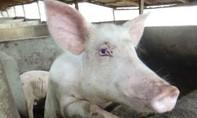 Nigeria tiêu hủy gần 1 triệu con heo vì dịch tả bùng phát