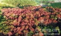 Kẻ chủ mưu vụ đầu độc 10ha rừng thông ở Lâm Đồng chỉ lãnh 6 năm tù