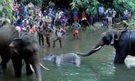 Ấn Độ giận dữ khi một con voi mang thai chết vì bị gài bẫy bằng thuốc nổ