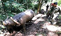 Phát hiện 3 đối tượng dùng trâu kéo gỗ lậu trong rừng