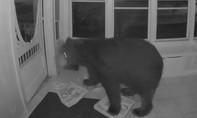 Clip gấu hoang mở cửa vào nhà dân tìm đồ ăn