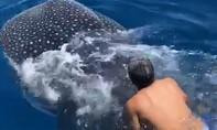 Cận cảnh người đàn ông cưỡi cá mập voi trên Biển Đỏ