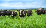 Ra mắt trang trại bò sữa Nutimilk – cung cấp nguồn sữa chuẩn quốc tế