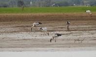 Đàn chim giang sen quý hiếm xuất hiện ở hồ Trị An