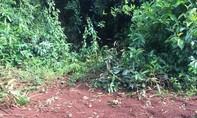 Thấy voi rừng vào rẫy điều đẻ, người dân mang nhau thai về