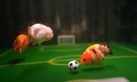 Clip người đàn ông Trung Quốc huấn luyện cá vàng chơi đá banh