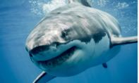 Lại có người bị cá mập cắn chết ở Úc
