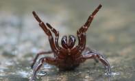 Úc cảnh báo loài nhện độc nhất thế giới tràn vào nhà dân sau lũ