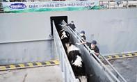 Thêm 2.100 con bò sữa từ Mỹ gia nhập đàn tại trang trại Vinamilk Quảng Ngãi