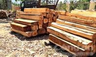 Điều tra hàng loạt cây cổ thụ bị khai thác trái phép
