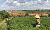 Lâm Đồng: Cận cảnh những đồi chè, cà phê biến thành hàng loạt