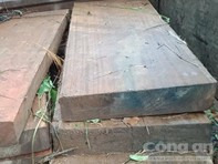 Khởi tố vụ án khai thác gỗ dổi cổ thụ