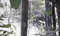 Hình ảnh voi rừng