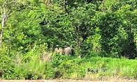 Đàn voi rừng rời khỏi khu vực biên giới Gia Lai
