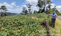 Vụ phá sản dự án trồng 100ha rừng ở Kon Tum: Do người dân chưa ủng hộ?