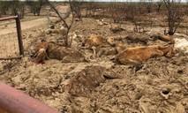 Clip khung cảnh như 'ngày tận thế' ở Úc, khi 500.000 con gia súc chết vì lũ