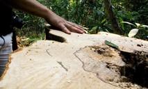 Rừng phòng hộ bị phá nghi cung cấp gỗ cho cơ sở sản xuất đũa