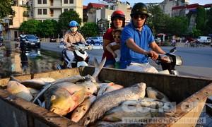 Hàng tấn cá chết bất thường, nổi trắng hồ Tây