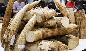 Bắt cán bộ hải quan bán 150 kg ngà voi trong kho tang vật