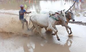 Tưng bừng lễ hội đua bò độc nhất ở ĐBSCL