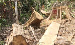 Lâm tặc tàn phá rừng phòng hộ Sông Kôn