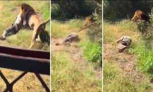 Người đàn ông sống sót sau khi bị sư tử tấn công