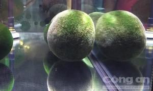Ngắm tảo cầu quý hiếm ở vườn thú Đài Bắc