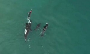 Clip người phụ nữ suýt bị bầy cá voi sát thủ 'xé xác'