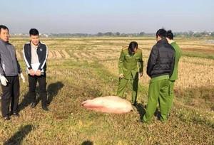 Thanh niên vứt xe và lợn chạy thoát thân khi gặp công an
