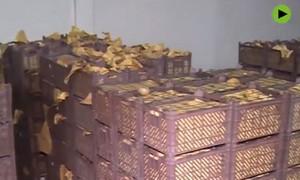 Clip cảnh sát phát hiện 1 tấn ma túy giấu trong giỏ đựng kiwi