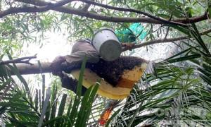 Nửa ngày leo cây lấy mật ong, kiếm 5 triệu đồng