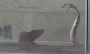 Clip trận chiến giữa rắn hổ mang và cầy mangut