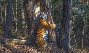 Bức ảnh 'hổ ôm cây' mất gần 1 năm để chụp giành giải thưởng danh giá