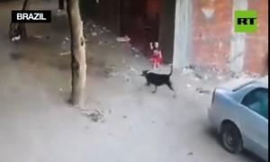 Clip mèo tấn công chó dữ cứu bé trai thoát chết