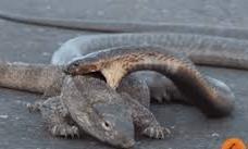 Cận cảnh trận chiến giữa kỳ đà và rắn hổ mang