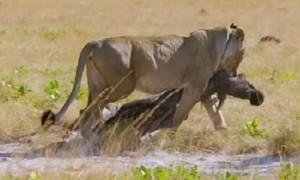 Video linh dương non bất chấp nguy hiểm ở gần xác mẹ