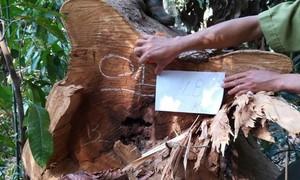 Phát hiện vụ phá rừng quy mô lớn ở Đắk Nông