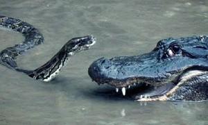 """Clip cá sấu đại chiến trăn """"khủng"""""""