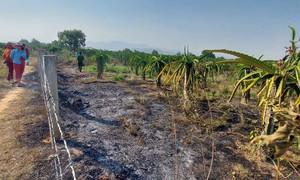 Cháy 1.000 trụ thanh long đang ra trái của chủ vườn nước ngoài