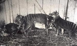 Video hình ảnh cuối cùng của loài hổ Tasmania tuyệt chủng cách đây 80 năm